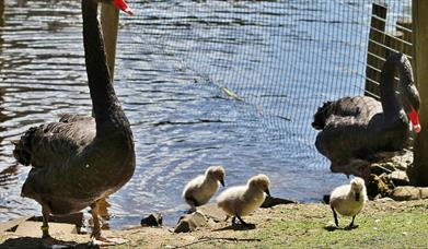 Broughshane Waterfowl Park