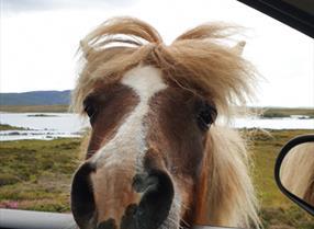 Wild ponies at Loch Skipport