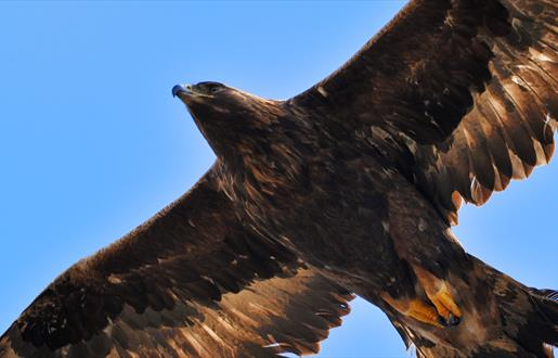 Golden Eagle - Loch Eynort