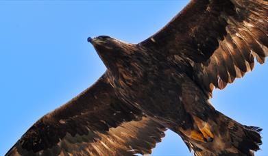 Golden Eagle - Loch Eynort