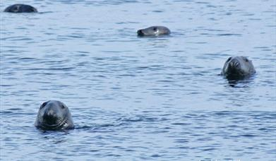 Grey Seal - Berneray Harbour