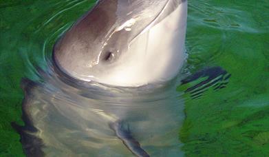 Common Porpoise-Loch Trolemaraig