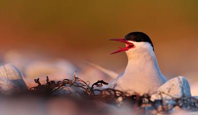 Arctic Tern - Loch Fionsabhaigh