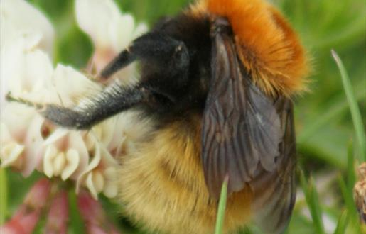 Great Yellow Bumble Bee-Borve