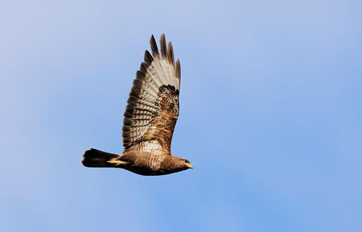 Common Buzzard © Laurie Campbell