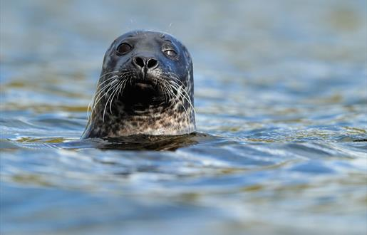 Grey Seal - Ardivachar