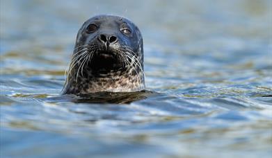 Grey Seal - Ardivachar