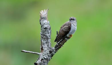Cuckoo-North Loch Eynort