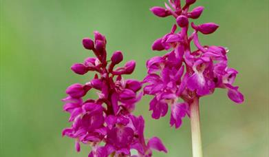 Early Purple Orchid-Loch Mor Barvas