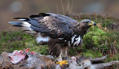 Golden Eagle - Kildonan Glen