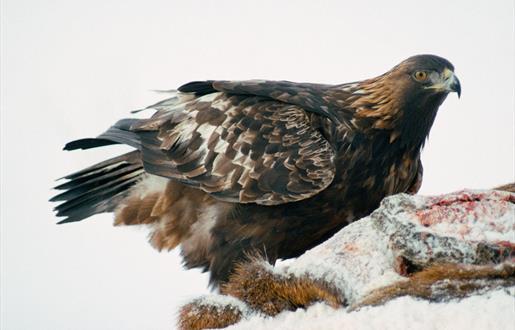 Golden Eagle - Lochmaddy