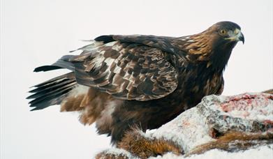 Golden Eagle - Lochmaddy