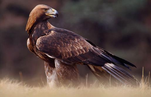 Golden Eagle - Griminish