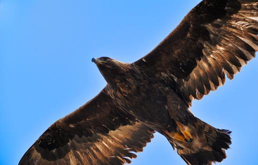 Golden Eagle - Bogha Glas