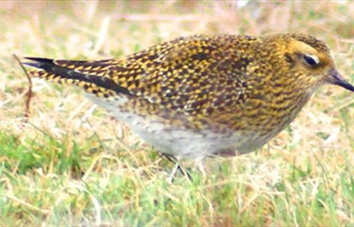 Golden Plover - Maaruig
