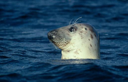 Grey Seal - Sound of Harris
