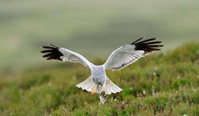 Hen Harrier - Reuval