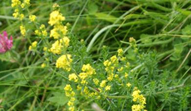 Lady's Bedstraw-Ardroil Sands
