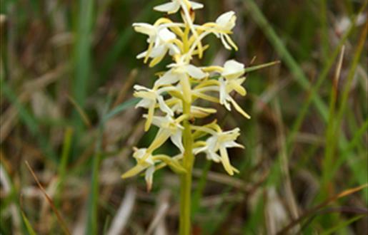 Lesser Butterfly Orchids-Boisdale