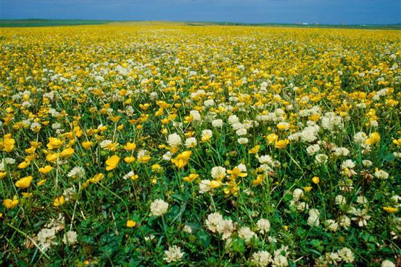 Machair Flowers - Howmore