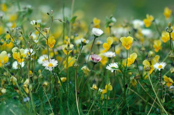 Machair Flowers - Bornish
