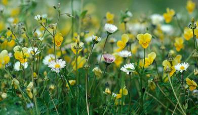 Machair Flowers - Bornish