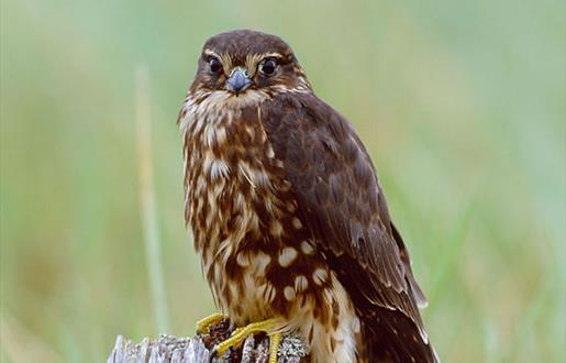 Merlin © Laurie Campbell