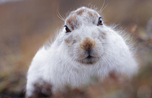 Mountain Hare - Toddun