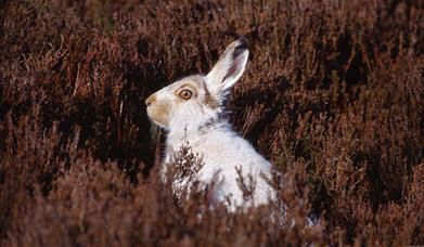 Mountain Hare - An Cliseam