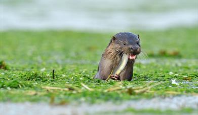 Otter - Loch a 'Chinn Uacraich