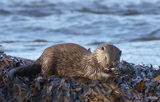 Otter - An Clachan