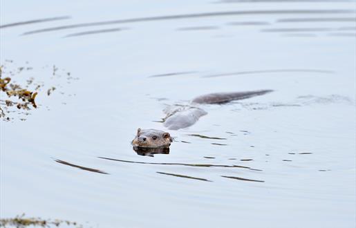 Otter - Rubha Ardvule