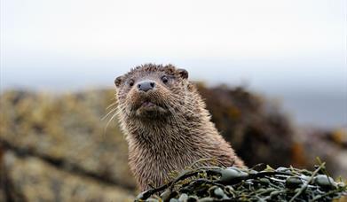 Otter - Loch Bee