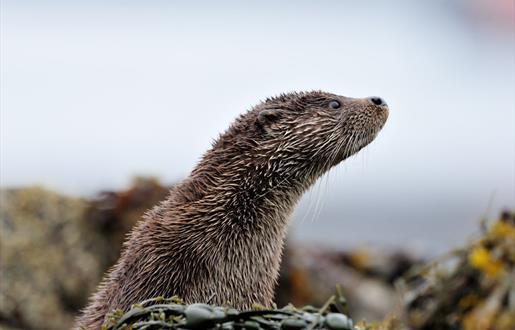 Otter - Loch Eynort