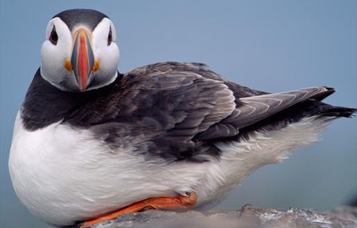 Puffin - Lochmaddy Ferry