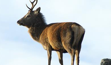 Red Deer - Garynahine