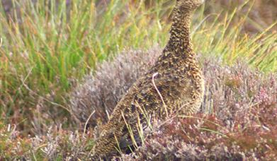 Red Grouse - Committee Road