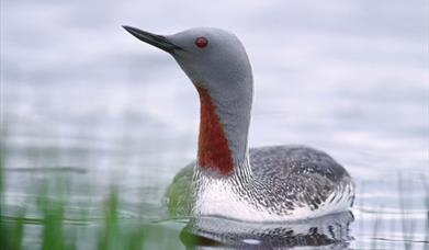 Red Throated Diver-North Loch Eynort