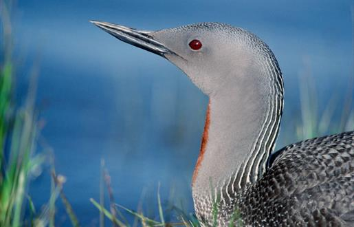 Red Throated Diver-Loch Langavat