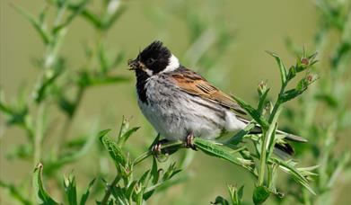 Reed Bunting - Loch Stilligarry