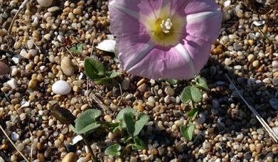 Sea Bindweed - Princes Strand