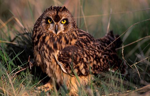 Short Eared Owl - Boisdale