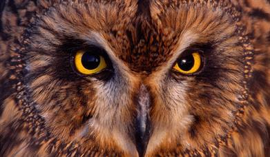 Short Eared Owl - Loch Bee