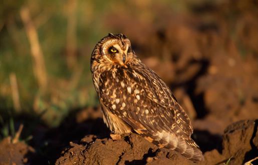 Short Eared Owl - Reuval