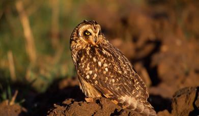 Short Eared Owl - Kildonan