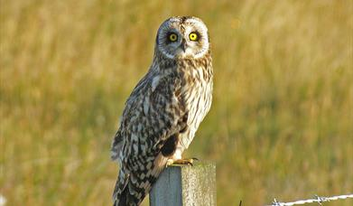 Short Eared Owl - Committee Road