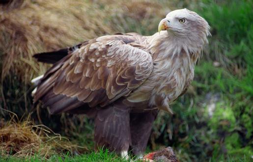 White Tailed Sea Eagle - Lochmaddy