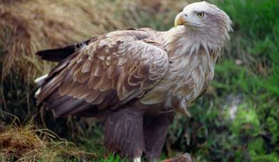 White Tailed Sea Eagle - Lochmaddy