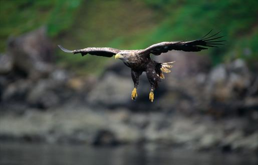 White Tailed Sea Eagle-Loch Eynort