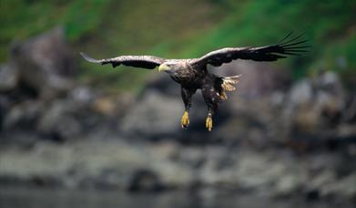 White Tailed Sea Eagle-Loch Eynort